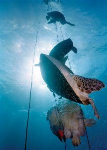 tartarugas presas em uma rede fantasma - Foto: Projeto Tamar Brazil/Marine Photobank