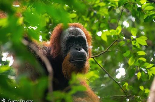 Viagem a Sumatra: um encontro com os orangotangos